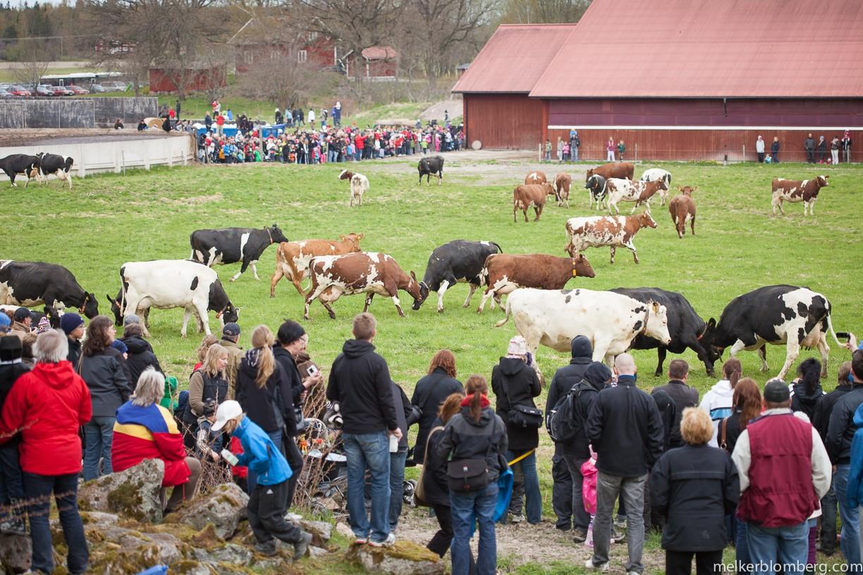 Kosläpp på Svånö Gård. Foto Melker Blomberg (http://www.melkerblomberg.com/)